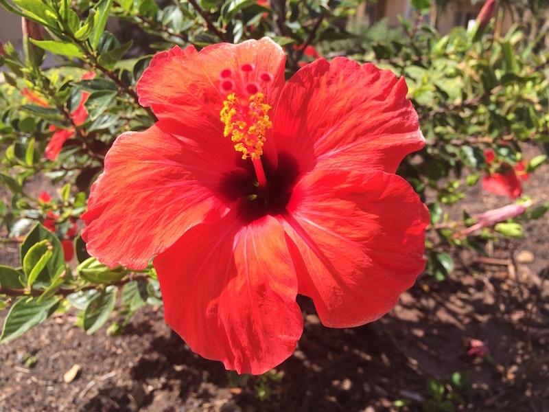 Hibiscus Santa Maria Sal