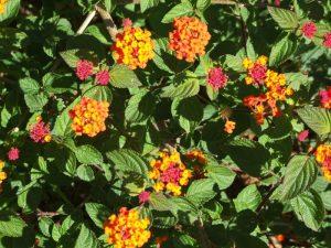 Lantana plant Santo Antão Cape Verde