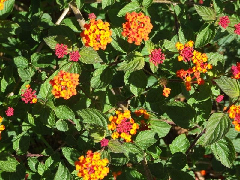 Flowers on Santo Antão