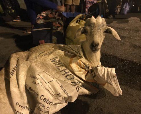 Goat at port in Fogo