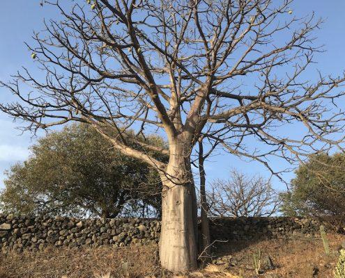 Tree on Fogo