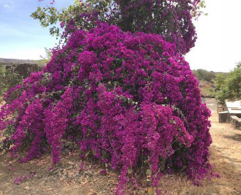 Bougainvillea bush on Fogo