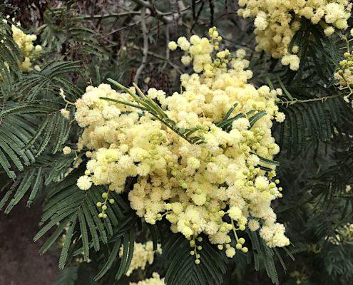 Flowers on Fogo