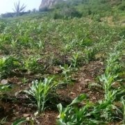 Maze crop after rain on Santo Antão, Cape Verde