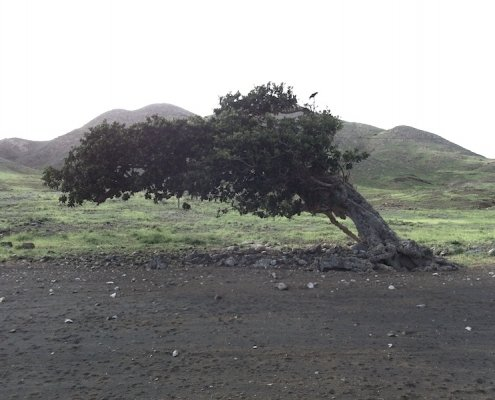 Fig tree Maio Cape Verde