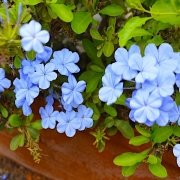 Blue flowers in Santa Maria