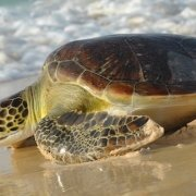 Climate change and loggerhead turtles