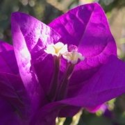 Bougainvillea on Fogo Cape Verde