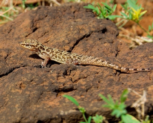 Cape Verde leaf-toed gecko