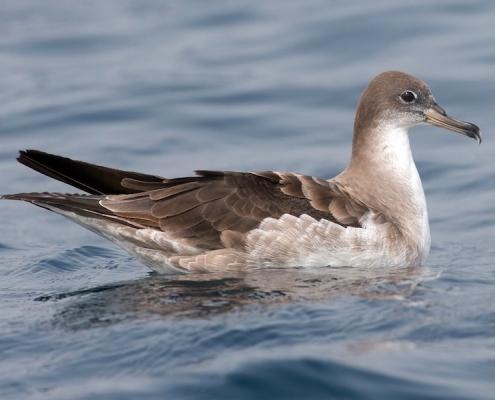 Cape Verde shearwater