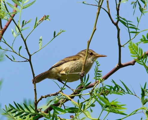 Cape Verde warbler