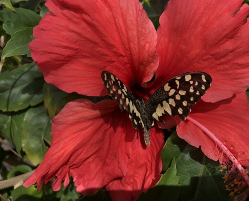 Butterfly on hibiscus flower