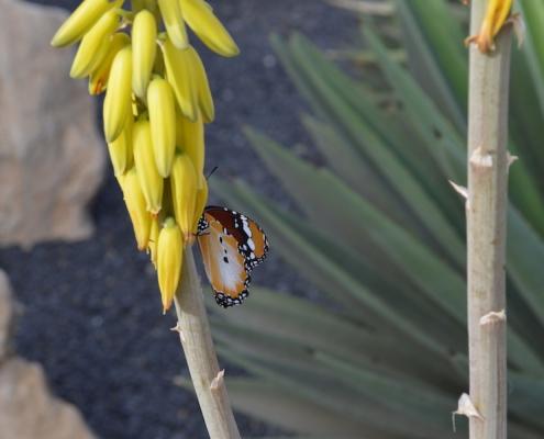 Butterfly on aloe vera flower