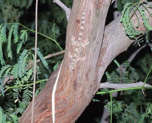 Boa Vista wall gecko