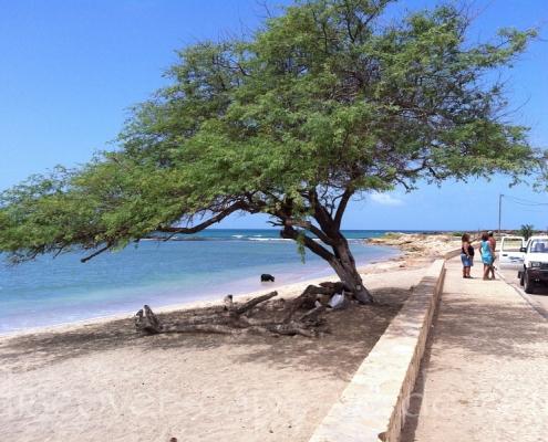 Acacia tree Maio