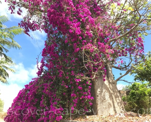 baobab tree covered in bougainvillea in cape Verde