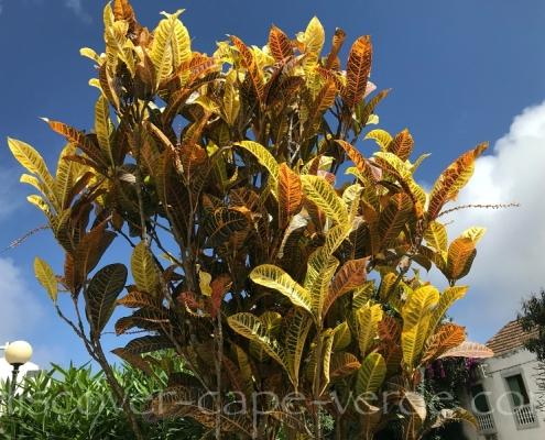 croton plant in cape verde
