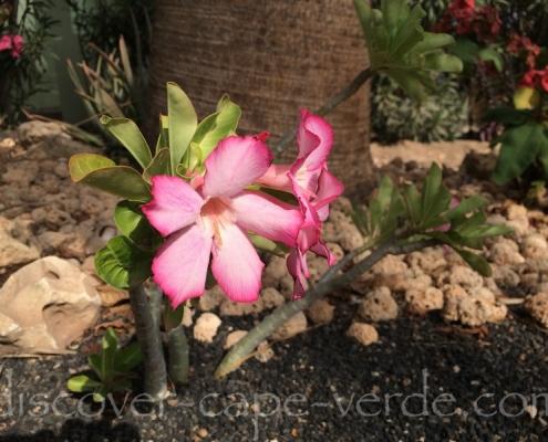 desert rose in cape verde