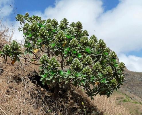 echium hypertropicum plant in cape verde
