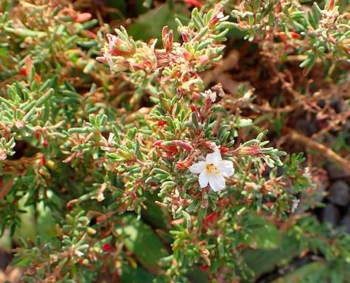 Frankenia ericifolia