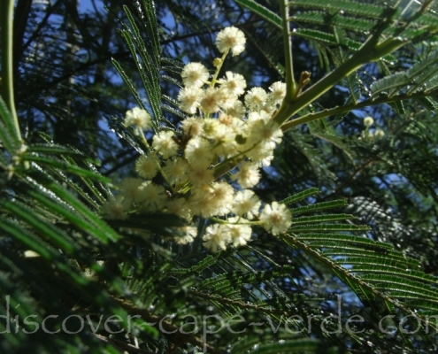mimosa with white flowers in cape verde