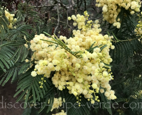 white mimosa flowers in cape verde