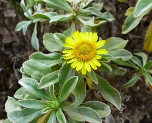Nauplius daltonii plant in cape verde