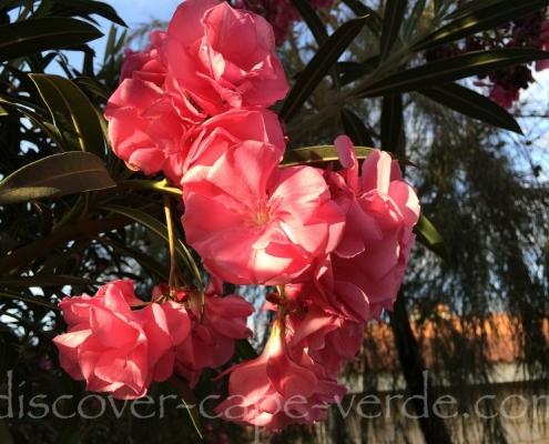 oleander pink in cape verde