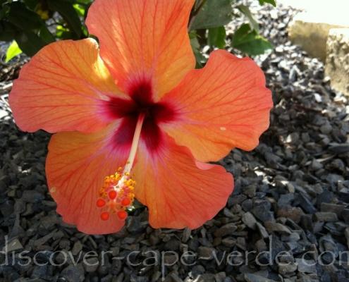 hibiscus in cape verde