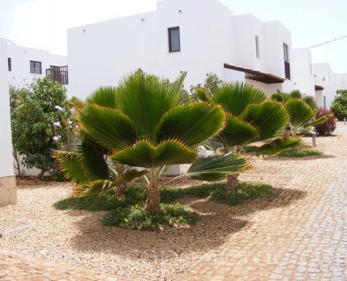 ruffled palm tree in cape verde