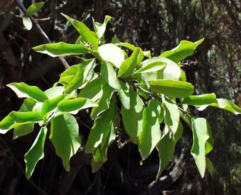 Sideroxylon marmulano plant in cape verde