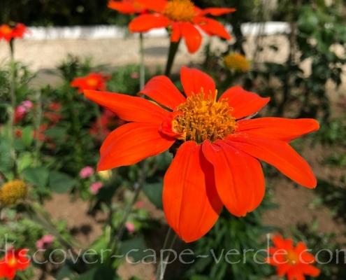 tithonia mexican sunflower in brava cape verde