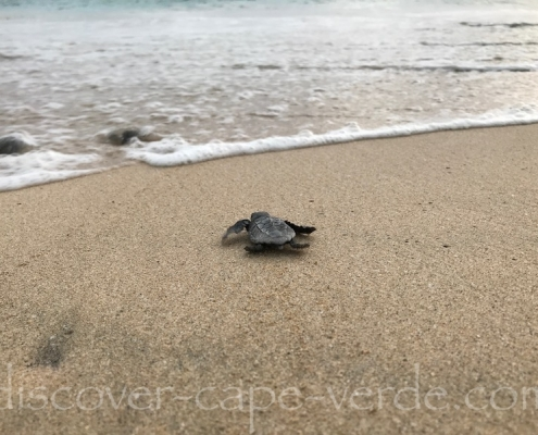 baby turtles entering the sea on Maio Cape Verde