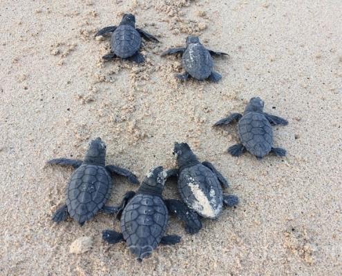 Baby turtles on Maio beach