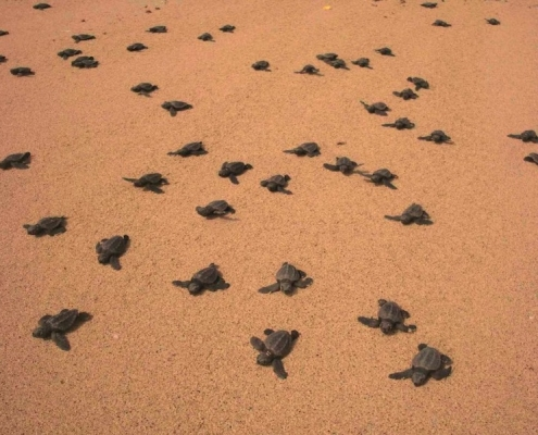 baby turtles going to the sea