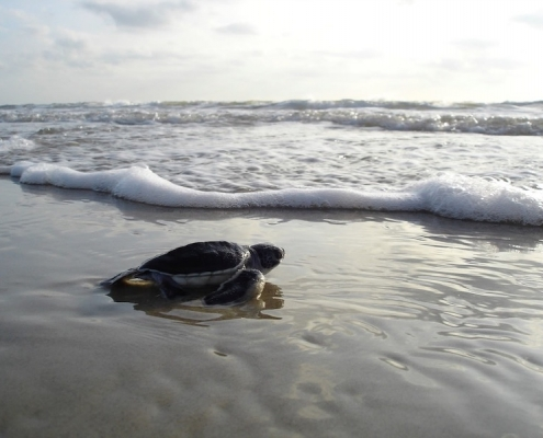 loggerhead turtle entering the sea