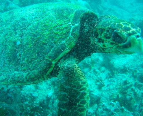 loggerhead turtle in the sea