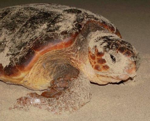 loggerhead turtle on the sand