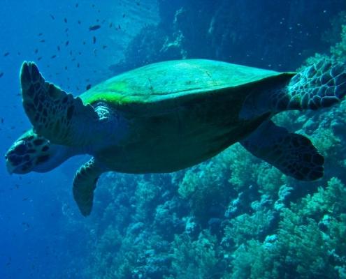 turtle swimming off Cape Verde