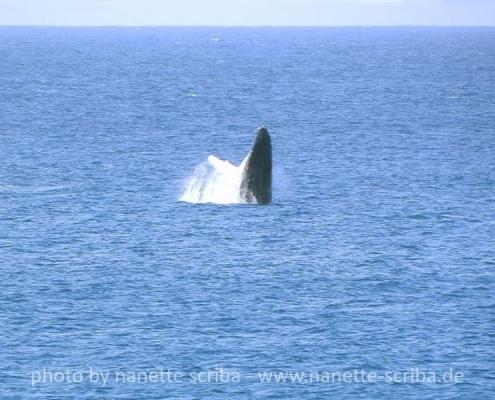 whale breaching off Maio Cape Verde