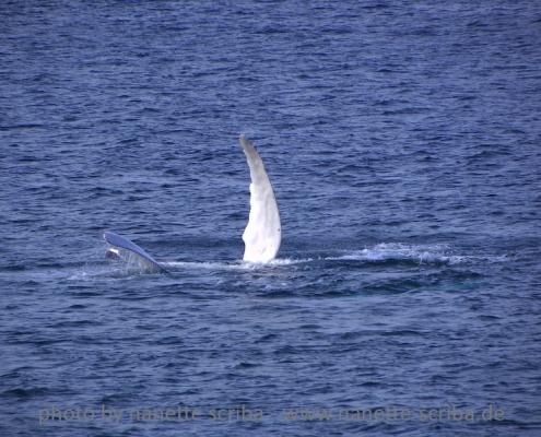 Whale fins seen from Stella Maris Maio Cape Verde