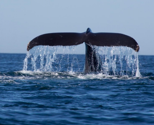 whale's tail rising from sea