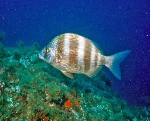 Banded seabream
