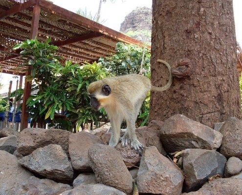 green monkey on santiago